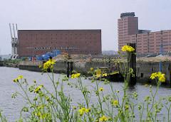 Gelb blühendes Wildkraut wächst am Grasbrookhafen; ein Arbeitsschiff liegt am Dalmannkai; im Hintergrund der Kaispeicher A mit Hafenkränen, re. die Bürogebäude am Sandtorkai in der Hamburger Hafencity.