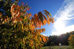 Fotos aus dem Niendorfer Gehege - Naherholungsgebiet im Hamburger Stadtteil Niendort, Bezirk Eimsbüttel; herbstlich gefärbtes Laub - blauer Himmel.