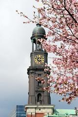 Kirchturm / Kuppel mit Uhr von der Hamburger St. Michaeliskirche, blühende Zierkirschen.