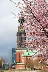 Kirchturm von der Hamburger St. Michaeliskirche, blühende Zierkirschen.