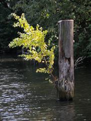 Vermoderter Holzdalben im Hamburger Hafen / eine junge Birke wächst aus dem Holzpfahl - Zeugnis der Hafengeschichte.