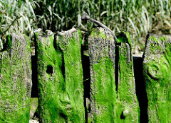 Alte Holzbalken am Ufer der Elbe im Hamburger Hafen; das verwitterte Holz ist mit Algen bedeckt.