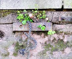 Alter Eisenbeschlag mit Schiffstau an der Kaimauer vom Hafenbecken Haken in Hamburg Rothenburgsort - Moos wächst auf dem Stein Grünpflanzen spriessen in den Mauerfugen.