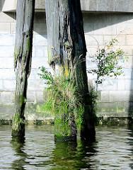 Alte Holzdalben bei der Norderelbbrücke in Hamburg Rothenburgsort - die Holzpfähle gehören zur ehem. Hafenanlage / Zollhafen Entenwerder.