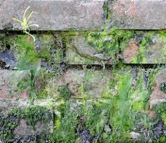 Mit grünen Algen / Moos und Gras bewachsene Ziegelmauer / Kaimauer im Hamburger Hafen.