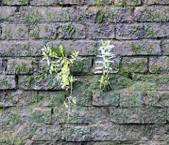 Feuchte Ziegelmauer, mit Moos und Grünpflanzen bewachsen; Relikte / Überbleibsel vom alten Hamburger Hafen.