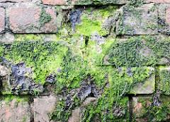 Mit grünen Algen / Moos bewachsene Ziegelmauer / Kaimauer im Hamburger Hafen.