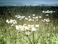 Feld im Harz - Schnee bedeckte vertrocknete Blumen - Landschaft im Hintergrund.