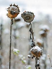 Schneefall auf einem Sonnenblumenfeld - Jahreszeitenwechsel.