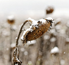 Sonnenblume im Winter mit Schnee bedeckt - Sommerende, Herbst - Winteranfang.