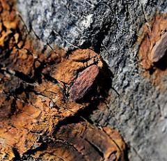 Eisenverfärbungen in altem Holz - Nagel in einem Holzboot im Hafen von Lauterbach, Insel Rügen.