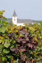 Weinblätter mit Herbstfärbung am Neusiedler See - Kirchturm im Hintergrund.