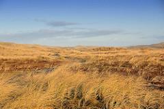 Hohes Gras in der Uferzone an der dänischen Nordseeküste - Dünen.