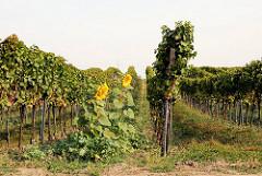 Weinanbau am Neusiedler See in Österreich - Weinreben und blühende Sonnenblumen.