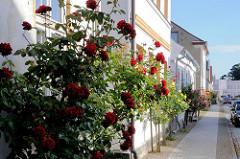 Blühende Rosen in den Strassen von Putbus / Rügen.