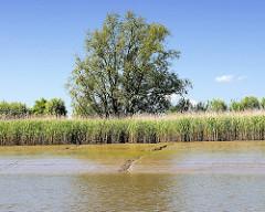 Niedrigwasser in der Stör - das Schilf am Flussufer liegt im Trockenen.