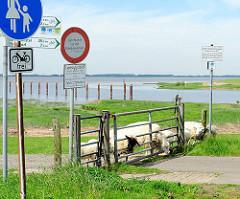 Schafe auf dem Deich - sie strecken ihre Köpfe durch die Tür, die den Wanderweg / Fahrradweg abtrennen - im Hintergrund die Mündung der Stör in die Elbe.