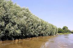 Weiden wachsen dicht am Ufer der Krückau - Nebenfluss der Elbe.