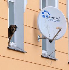 Fotos aus Wroclaw, Breslau - Polen - Satellitenschüssel an der Hausfassade - ein Hund steht auf dem Fenstersims und blickt auf die Strasse.