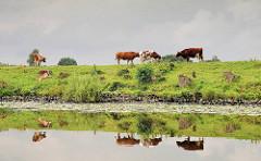 Kühe auf dem Deich an der Eider spiegeln sich im Wasser - Regenhimmel.
