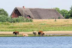 Kühe am Ufer der Elbe hinter dem Deich im Wasser - Dach eines reetgedeckten Bauernhauses hinter der Deichkrone.