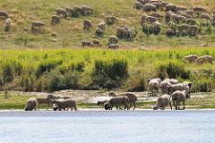 Schafherde im Gras - einige der Schafe stehen im Wasser und Trinken.