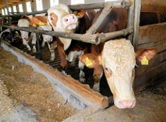 Weiss  braune Kühe dicht gedrängt im Stall - Rinderhaltung im bäuerlichen Vorland von Regensburg.