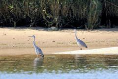 Zwei Graureiher / Fischreiher stehen am Ufer der Elbe und halten nach Nahrung Ausschau.