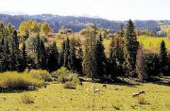 Bergige Landschaft - Bäume, Tannen zwischen Weiden mit Kühen.