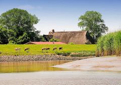 Die Stör bei Niedrigwasser - Kühe weiden auf dem Deich; ein reetgedecktes Bauernhaus steht geschützt hinter dem Deich.