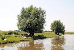 Schafe liegen im Schatten einiger Bäume am Ufer der Krückau - es ist Hochwasser, der Fluss tritt fast über das Ufer.