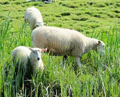 Schafe weiden im Gras am Ufer der Pinnau.
