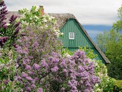 Der Flieder blüht in verschiedenen Farben im Frühling - Bauernhaus an der Stör.