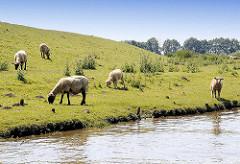 Weidende Schafe hinter dem Krückaudeich.