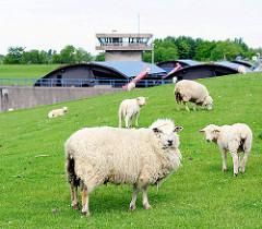 Schafen weiden auf dem Deich an der Stör / Elbe - im Hintergrund die Betriebsräume des Störsperrwerks.