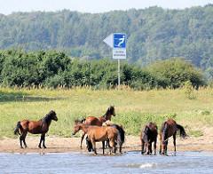 Eine Herde Pferde im Wasser am Ufer der Elbe - Hinweisschild, Gebotsschild Wasserski fahren erlaubt.