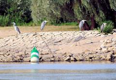 Graureiher, Fischreiher stehen auf einer Buhne - liegende grüne Fahrwassertonne - Buhnenkennzeichnung.