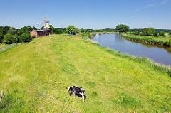 Eine schwarz weisse Kuh auf dem grünen Deich an der Oste bei Hechthausen - im Hintergrund die Mühle Caroline.