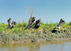 Ufer der Krückau bei Seestermühe - Weidenstümpfe am Wasser.