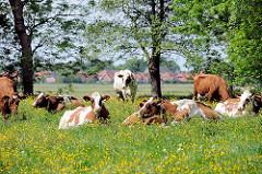 Kühe auf der Weide am Lauf der Stör - gelbe Butterblumen blühen im saftigen Gras.