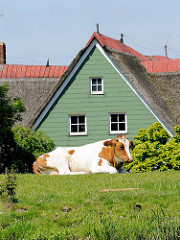 Ein braunweisse Kuh liegt auf dem Deich der Stör -dahinter der Giebel eines Reetdachhauses.
