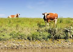 Kühe auf dem Deich und am Ufer der Pinnau.