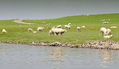 Schafe weiden hinter dem Deich am Ufer der Pinnau.