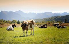Kuhweide mit angeketteten Kühen auf einer Wiese - Bergkette im Hintergrund.