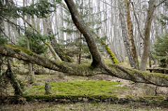 Umgestürzter Baum mit Moos bedeckt - Fotos aus dem Slowinzischen Nationalpark bei Leba, Polen.