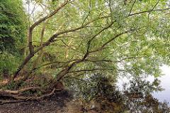 Bäume / Äste ragen in das Wasser des Timmerhorner Teichs / Fischteich in Ammersbek.