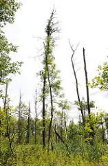 Naturschutzgebiet Brenner Moor in Bad Oldesloe / Kreis Stormarn. Flachmoor imTalraum der Trave mit den größten binnenländischen Salzquellen Schleswig Holsteins - kahle Bäume