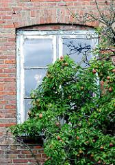 Holzfenster mit abgeblätterter Farbe - Apfelbaum mit Früchten direkt an der Hauswand - Fotografien aus der Stadt Barmstedt, Kreis Pinneberg.