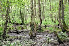 Naturschutzgebiet Neuer Teich in Ahrensburg, Metropolregion Hamburg. Erlenstämme und Grünpflanzen im morastigen Boden.