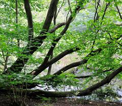 Lottbeker Teich in Hoisbüttel / Ammersbek - die Ufer vom kleinen See sind dicht mit Bäumen und Büschen bewachsen.